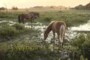 horse & colt grazing on marsh plains of the New Forest