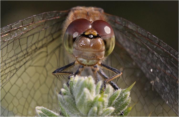 Dragonfly Eyes - Joint 3rd - prints (Open) Steve Dytham