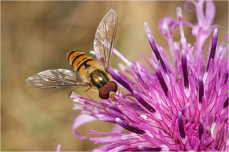 Hoverfly on a Knapweed Flower - Joint 3rd print (Open) Paul Braham