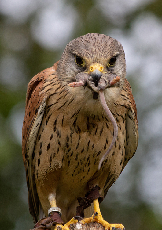 Common Kestrel - Beth Braham