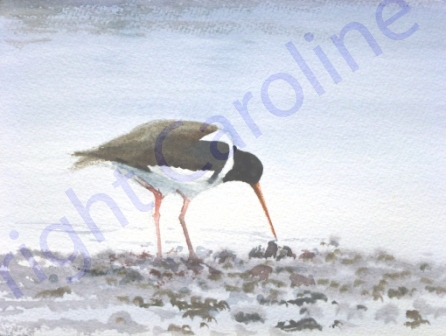 Oyster Catcher (Watercolour)