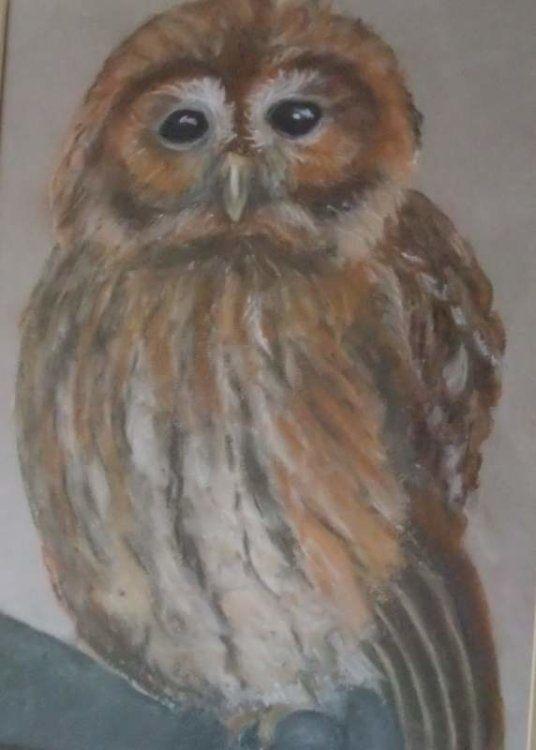 Baby barn owl £60