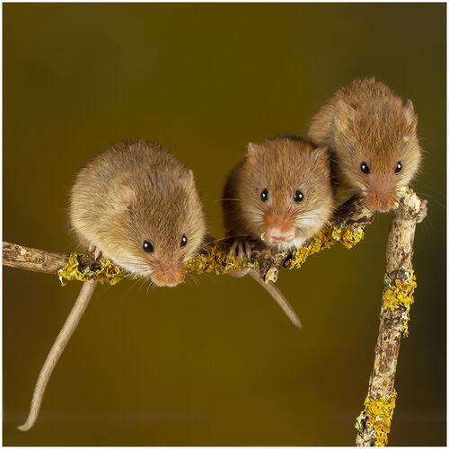 Three mice on a stick