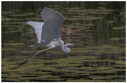 Great Egret Flying Right
