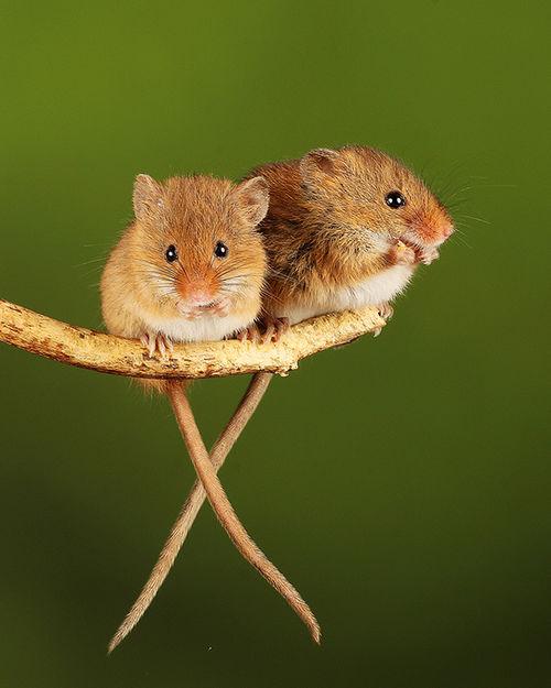 https://amazon.clikpic.com/cebennett/images/02_Harvest_Mice_pair_RNJ.jpg