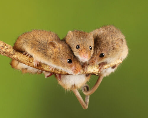 Harvest Mice in heart of togetherness