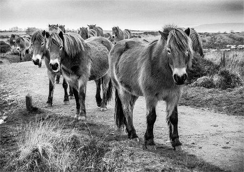 Mendip Ponies sticking together