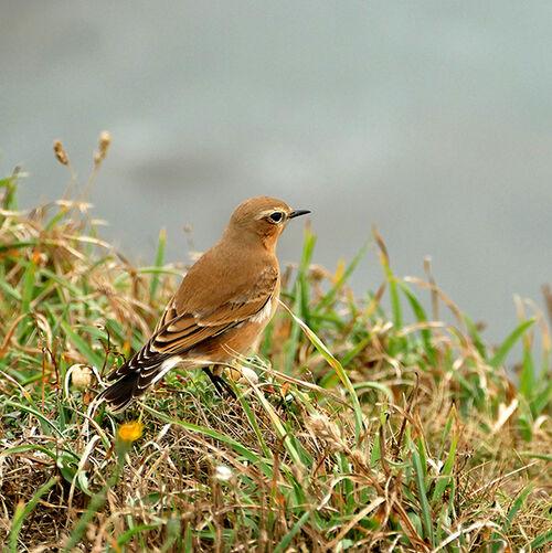 Warbler on Coast Path