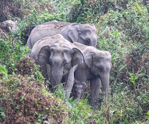 Elephant Family in Assam