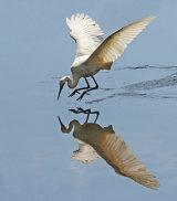 """""""Little Egret"""""""