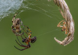 """Grass Spiders Mating"""