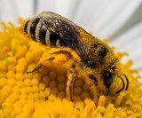 """""""Honey Bee Covered in Pollen"""""""
