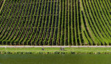 Vineyards Above The Moselle