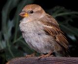 """Spanish Sparrow Fledgling"""