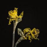 """Dying Daffodils"""