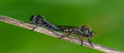 Roberflies Mating