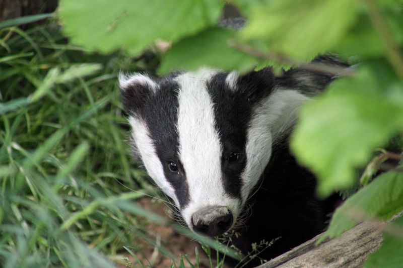 Baby Badger on the look out