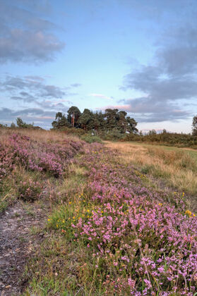 Camp Hill, Ashdown Forest in August