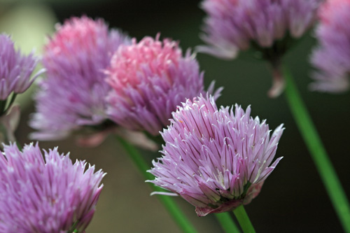 Field of Chives, Sussex