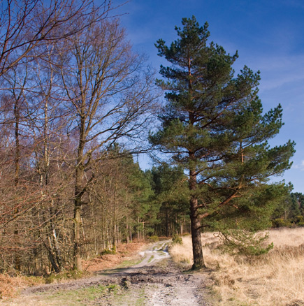 A Forest Path, Chelwood Gate, Ashdown Forest