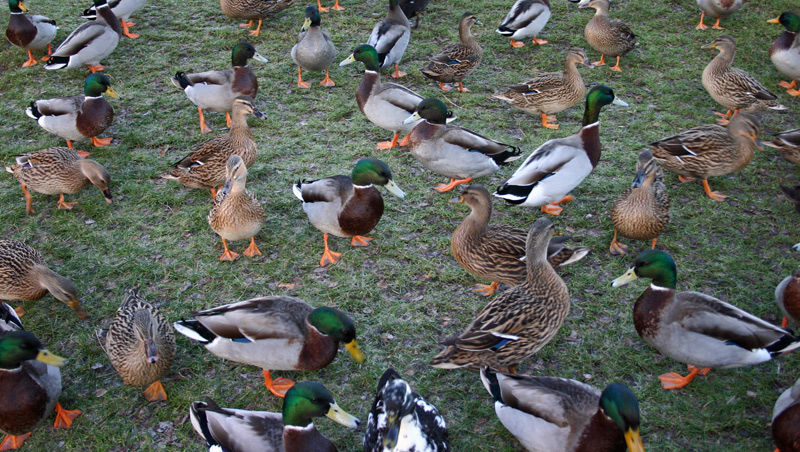 Ducks going quackers