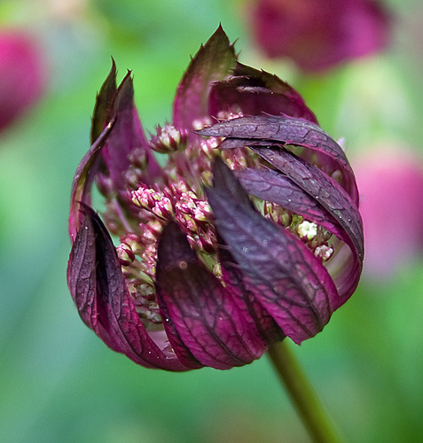 Astrantia Major - opening time