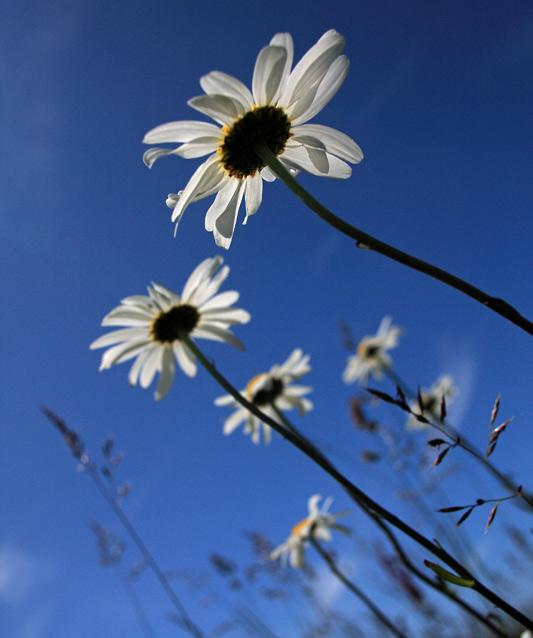Oxeye Daisy in Sunshine