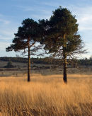 Pine Trees late afternoon Ashdown Forest