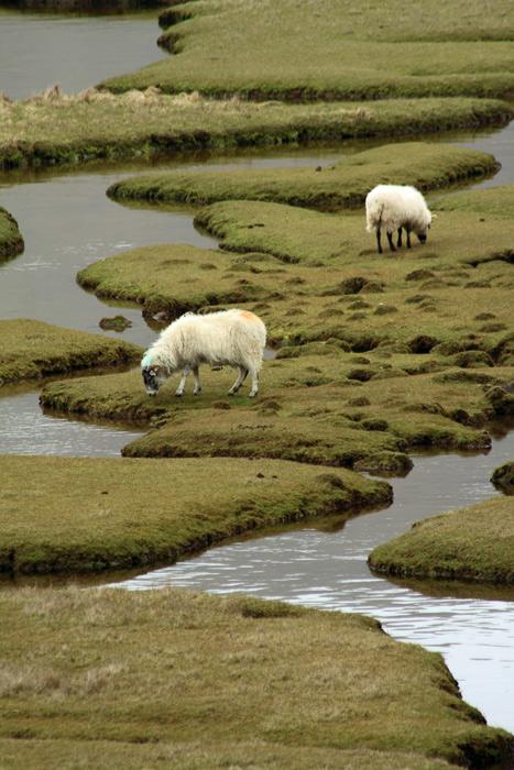 Sheep on Salt Flats