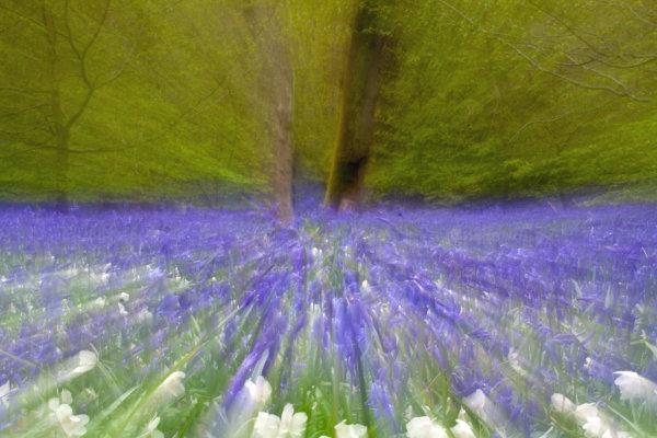 Bluebell Motion Blur