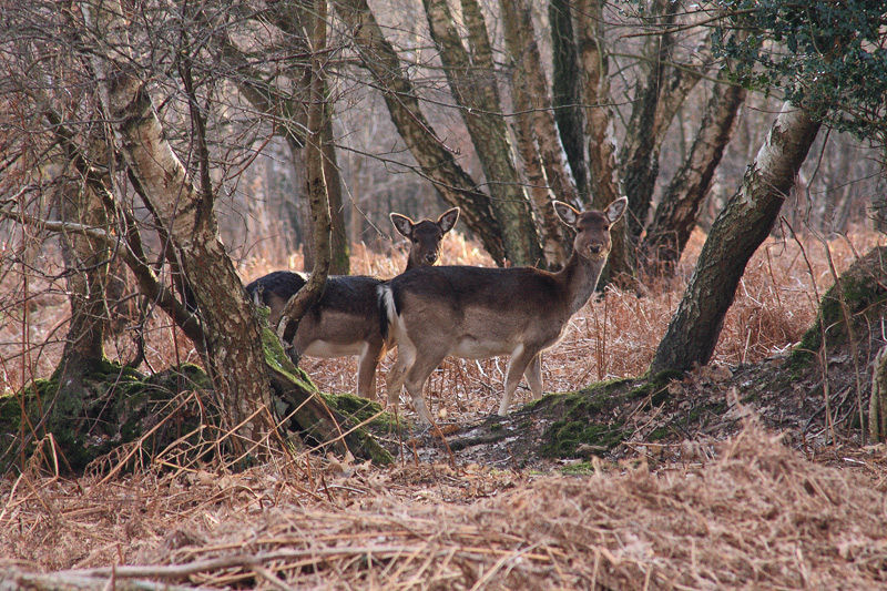 Card: Fallow Deer at Nutley, near the Marlpits