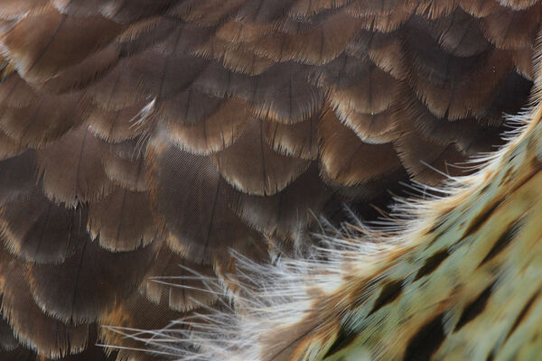Buzzard feathers