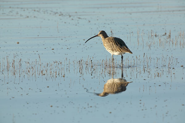 January 2021 - Curlew, Firth of Forth