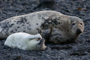 December 2020 - Grey seals, Firth of Forth