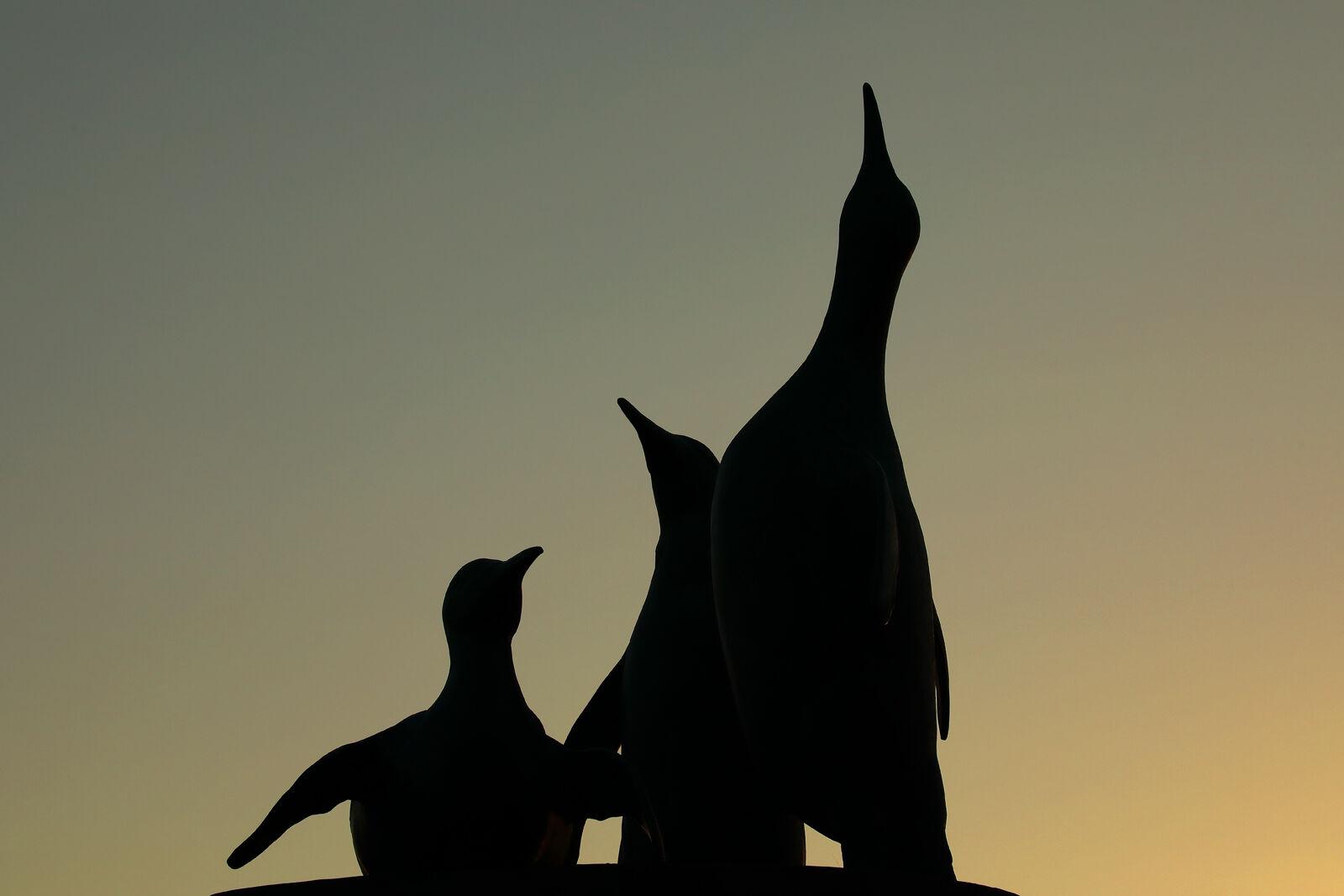 King penguins, North Berwick