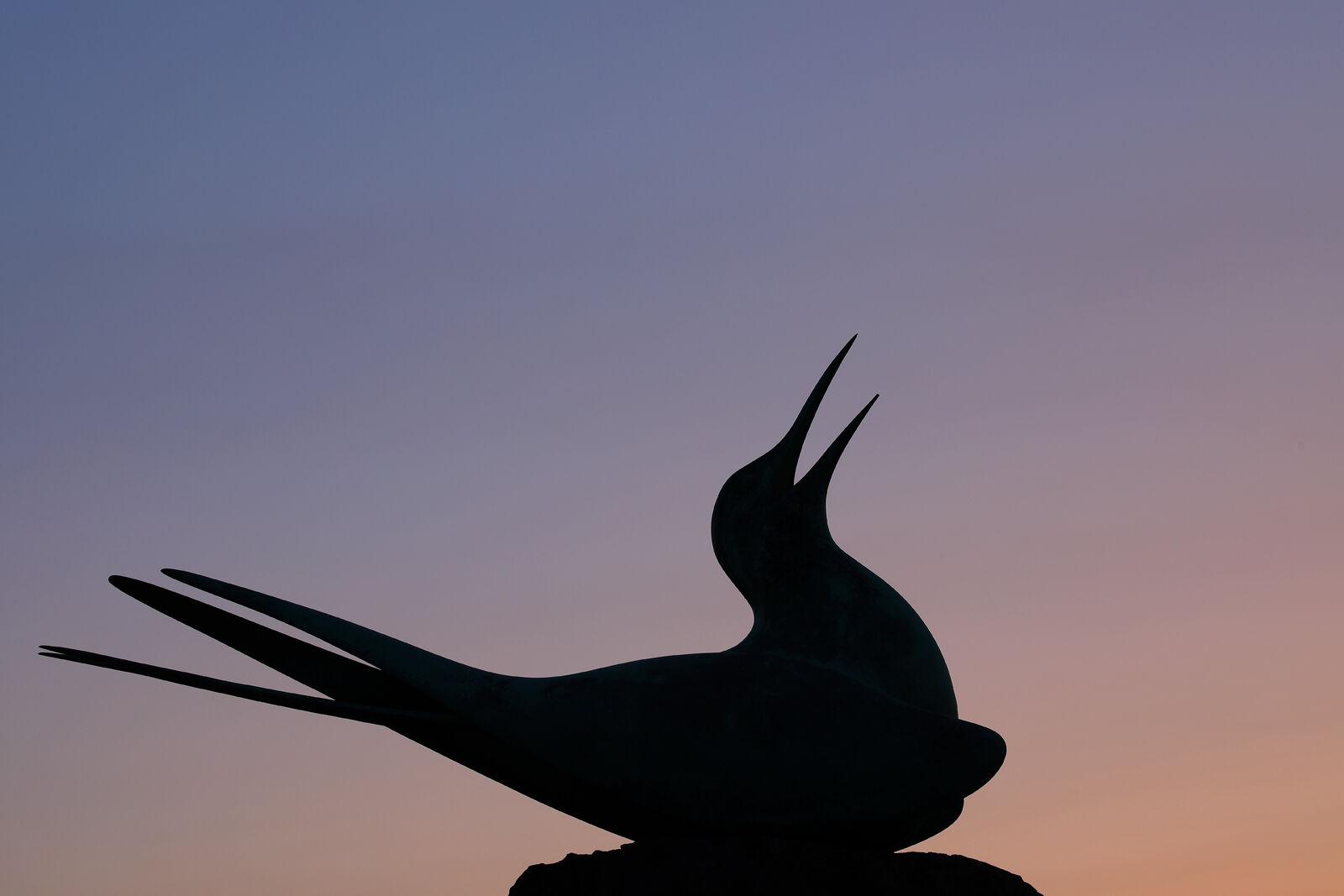 Arctic tern, North Berwick
