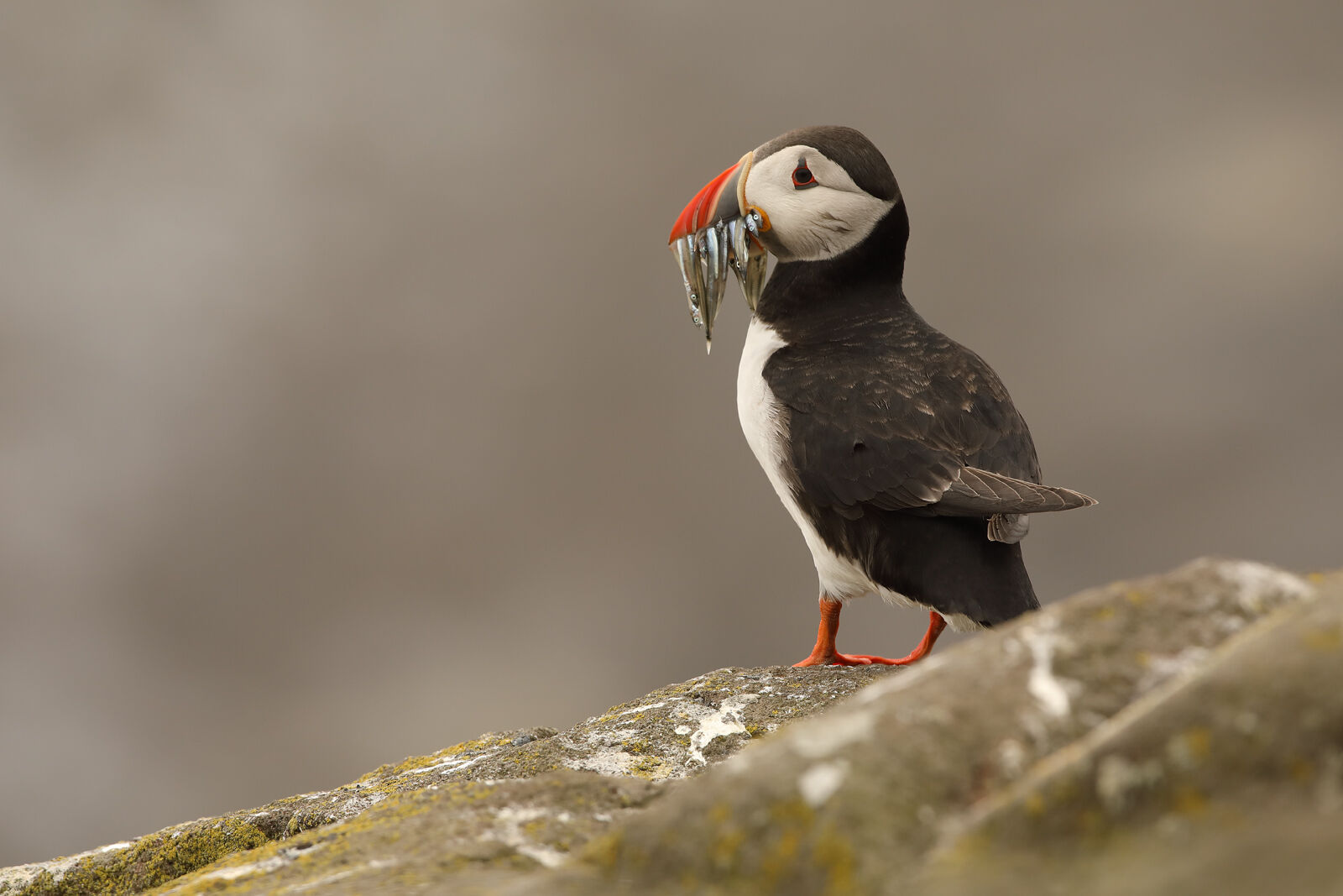 July 2021 - Puffin, Isle of May