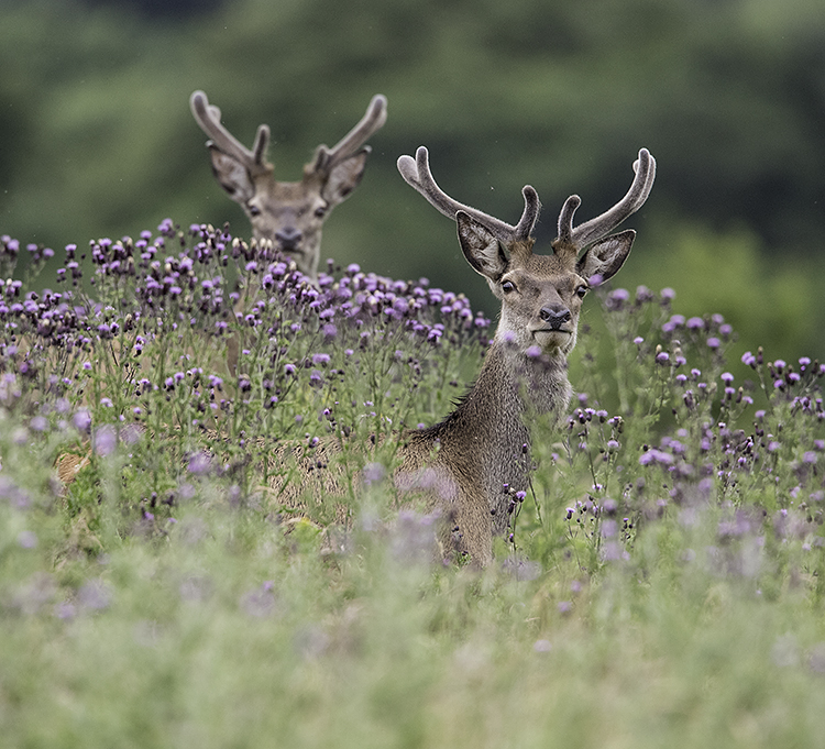 young stags in velvet