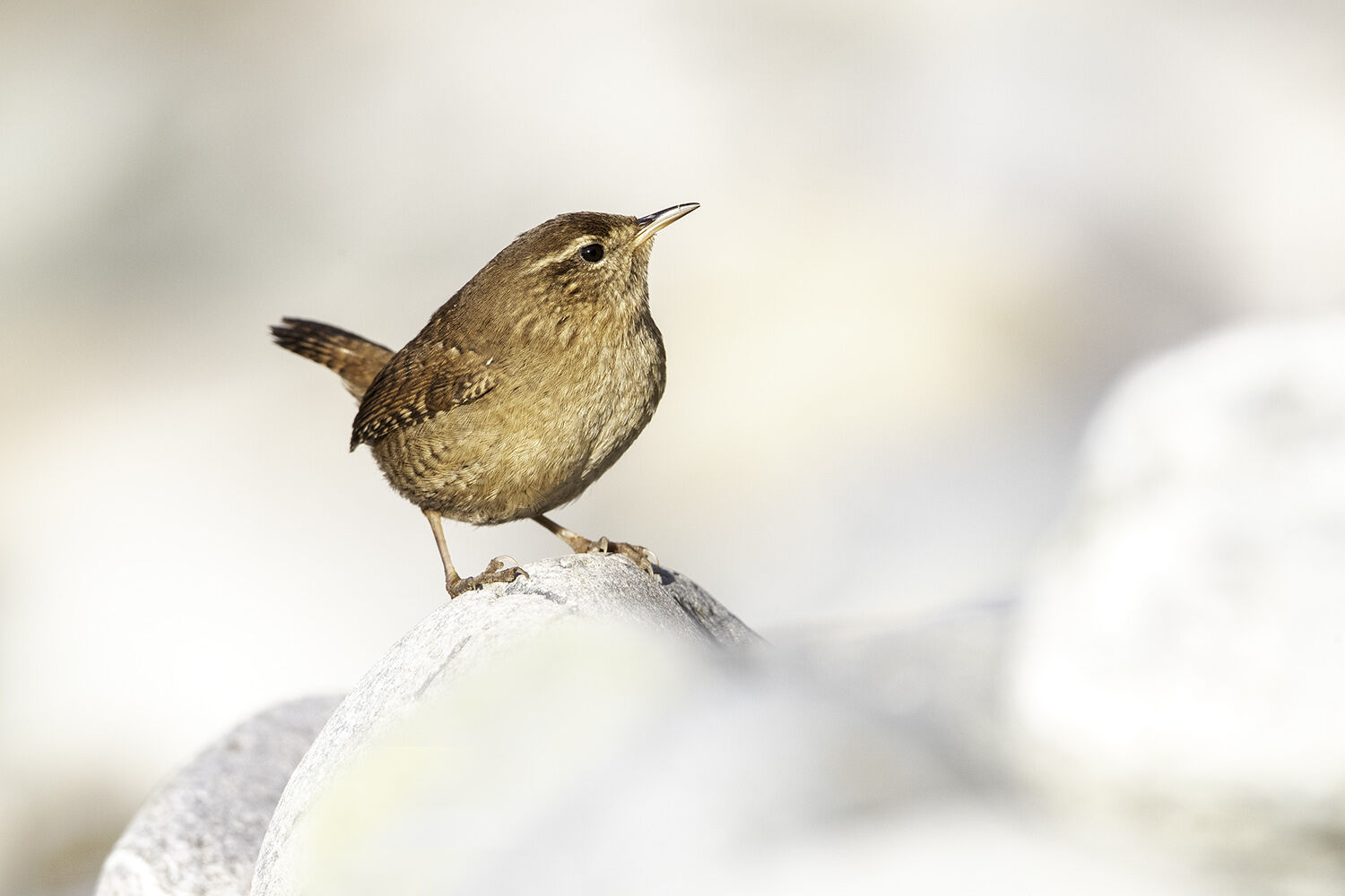 wren on the beach