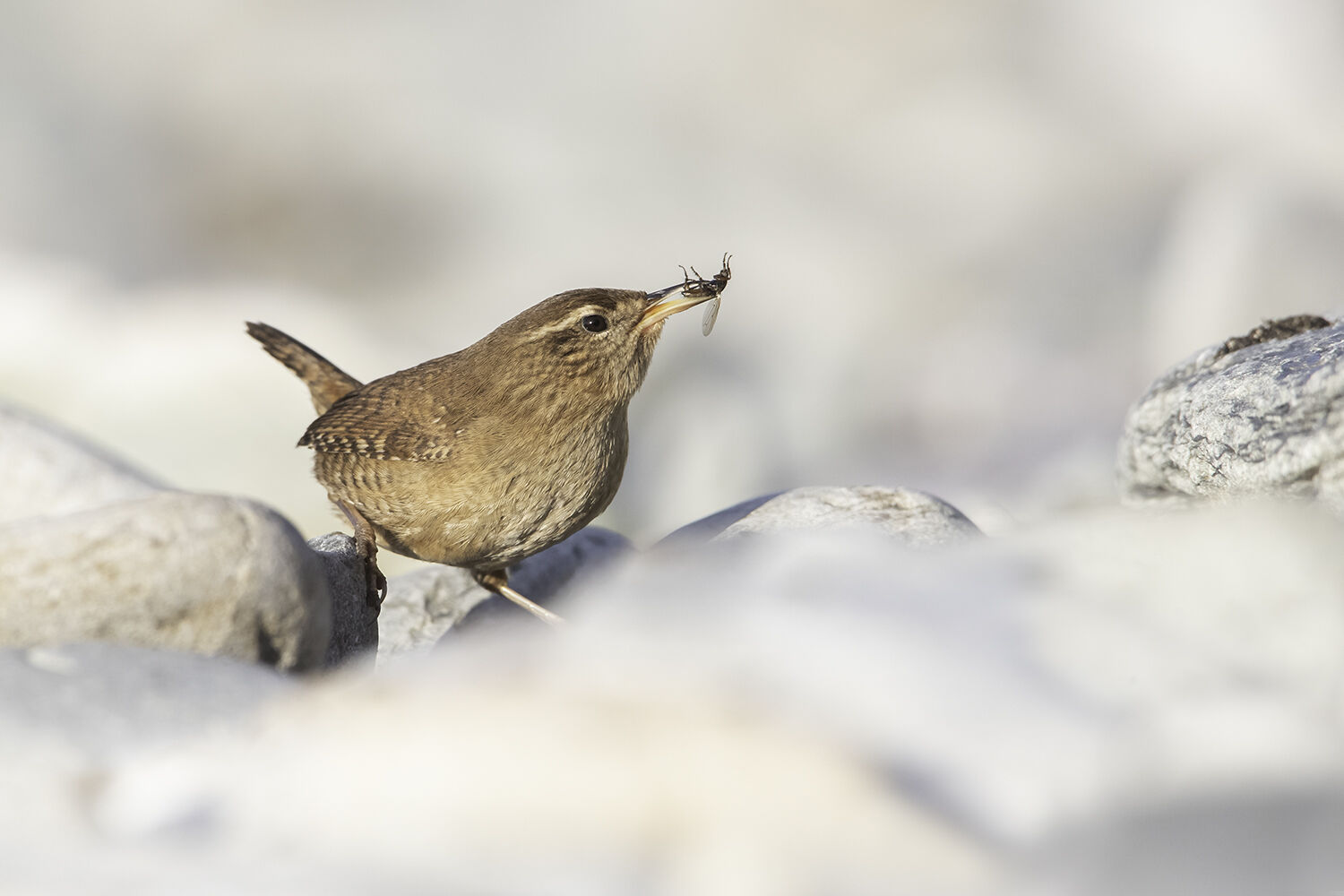 Wren with fly