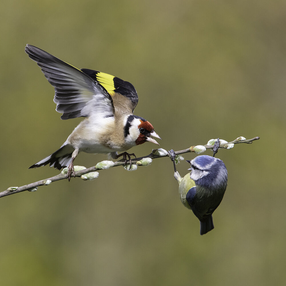 Goldfinch and blue tit.