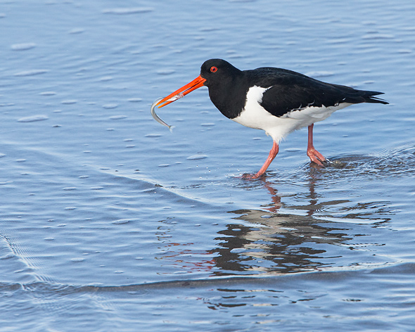 oystercatcher with sandeel