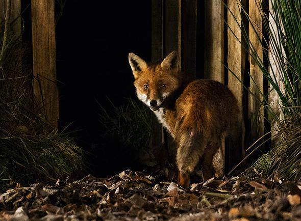 Night fox