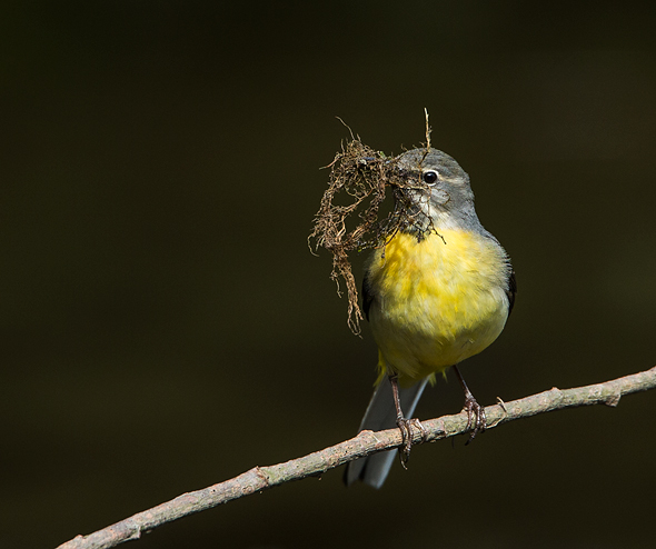Grey Wagtail with nesting material