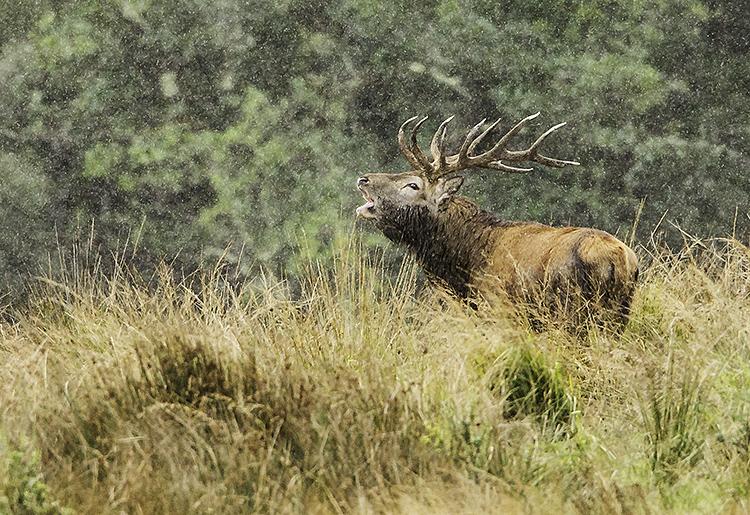 stag in the rain