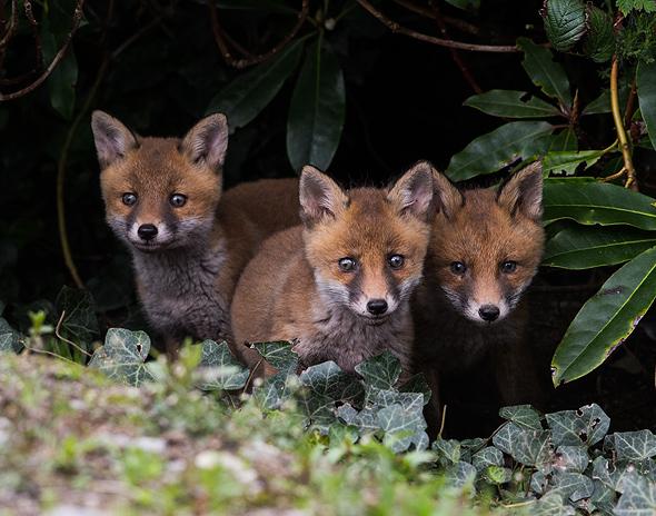 Fox cubs at den entrance