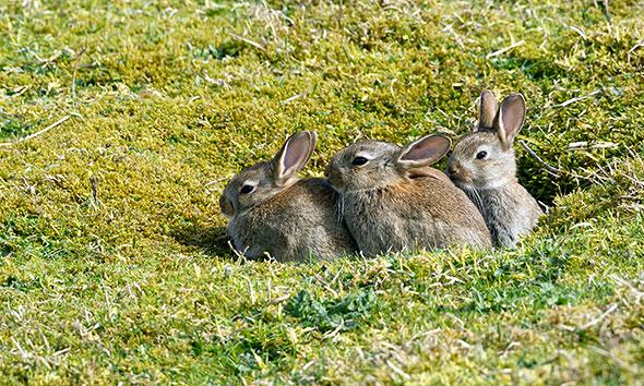 Baby rabbits, Barley Cove