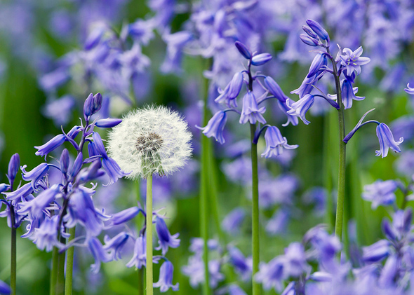 Dandelion and Blubells