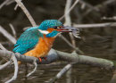Kingfisher with shrimp.