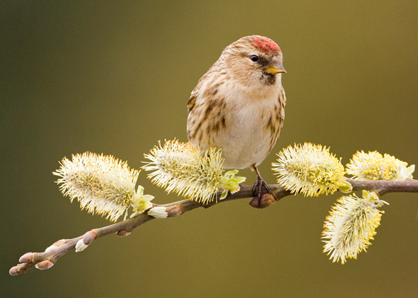 Redpoll on Willow